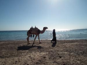 Teve a Vörös-tenger előtt Egyiptomban - Mészáros Márton felvétele -