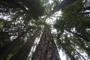 Muir Woods National Monument, San Francisco után (Mészáros Márton felvétele)