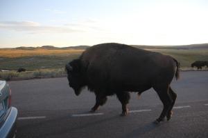 Szabadon kóborló bölény a Yellowstone Nemzeti Parkban (Mészáros Márton felvétele)