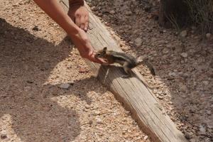 Mókus eszik a kezemből a Bryce Canyon Nemzeti Parkban (Mészáros Márton felvétele)