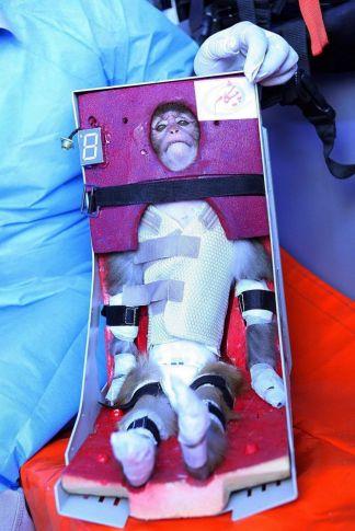 Iráni tudós fogja a szkafanderben lévő majmot, akit felküldtek a világűrben 2013. január 27-én