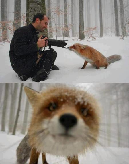 Amikor a róka  találkozik a fotóssal (2013. március)