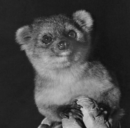 Az Ecuador és Kolumbia őserdeiben felfedezett új emlős, az olinguitó (Bassaricyon neblina)