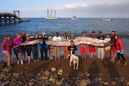 5,5 méteres (18 láb) szíjhal Santa Barbaránál