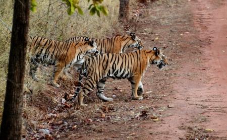 Tigrisfalka Indiában