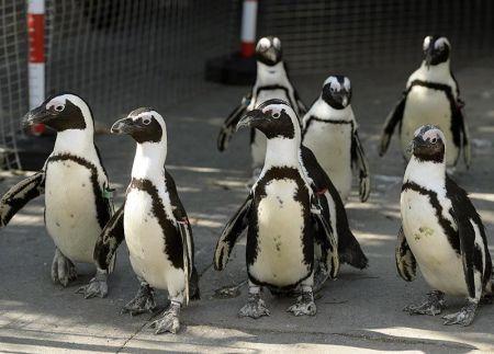 Pingvinek sétáltnak a Fővárosi Állat- és Növénykertben 2014. március 19-én (Forrás: Nők Lapja Café/MTI)