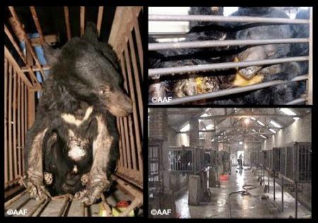 Medvefarm Kínában