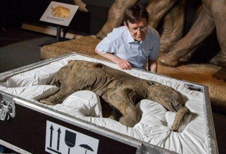 Kicsomagolják, Lyubát, a 42 ezer éves mamutkölyköt a Londoni Természetrajzi Múzeumban 2014. május 23-án