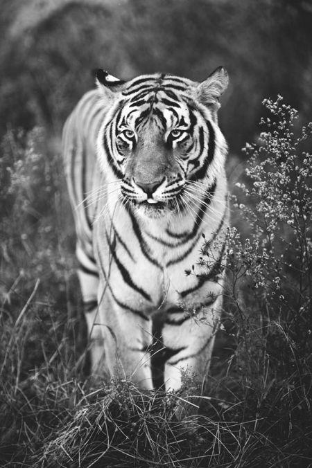 Veszélyeztetett tigris (Adrian Steirn felvétele)